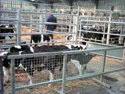 Calves in pens at auction